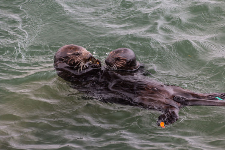 Animal Themes California Day Highway 1 Mammal Outdoors Sea Seaotters Swimming Togetherness USA Water Water Surface Two Is Better Than One