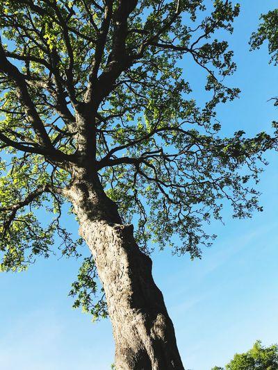 Heven Tree