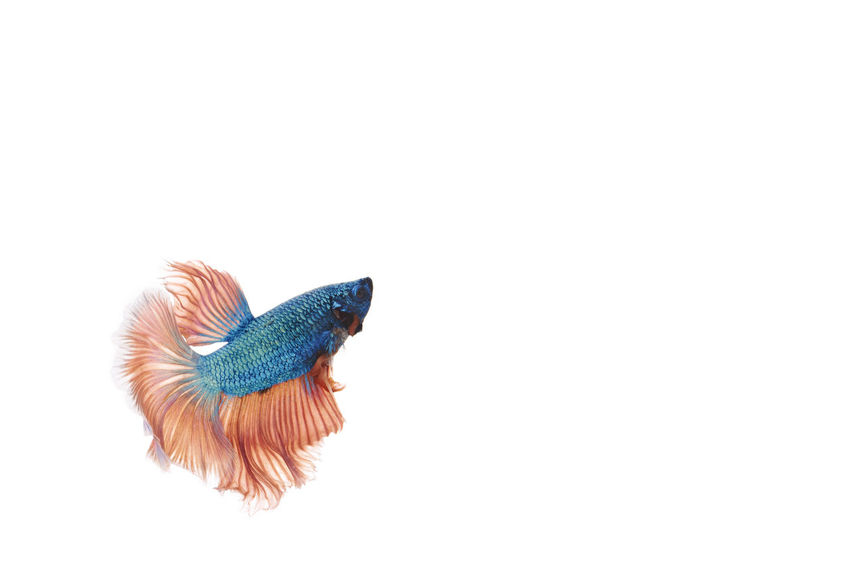 Siamese fighting half moon betta Animal Animal Themes Animal Wildlife Animals In The Wild Bird Blue Close-up Copy Space Cut Out Feather  Indoors  Multi Colored No People One Animal Peacock Single Object Still Life Studio Shot Vertebrate White Background