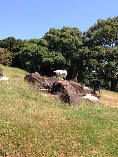 山羊! Enjoying Life Touring ハーレーFLHX