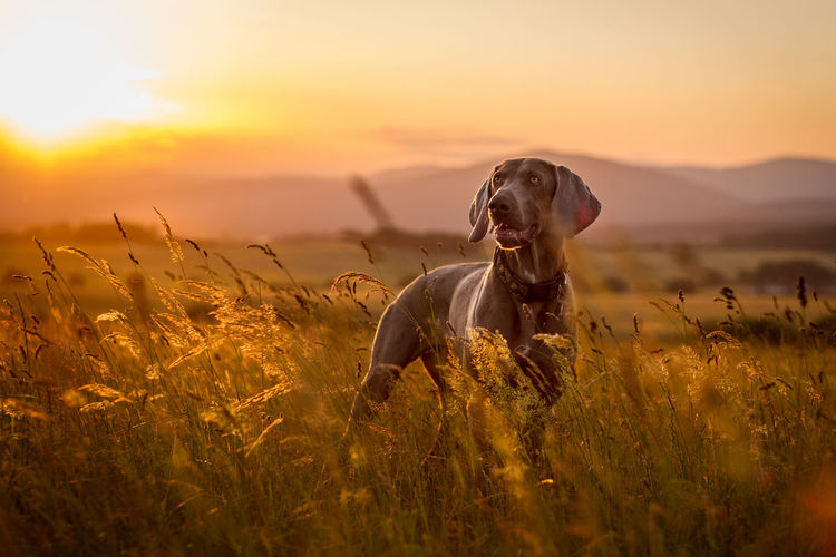 Dog on field during sunset