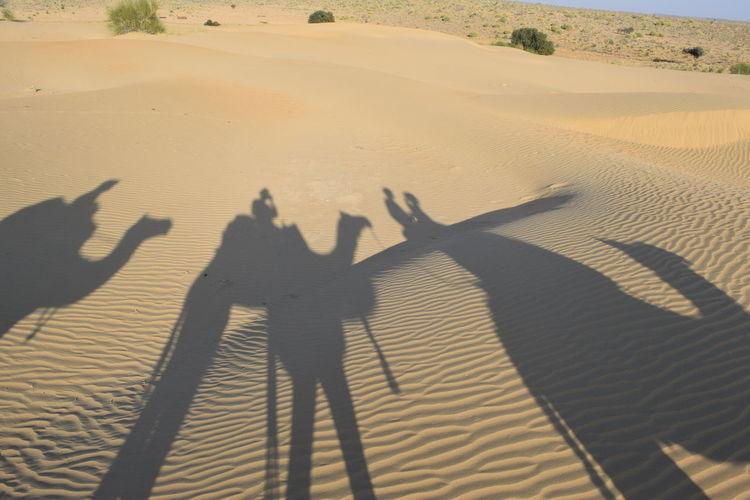 Arid Climate Camel Focus On Shadow Leisure Activity Outdoors Shadow Sunlight Thar Desert