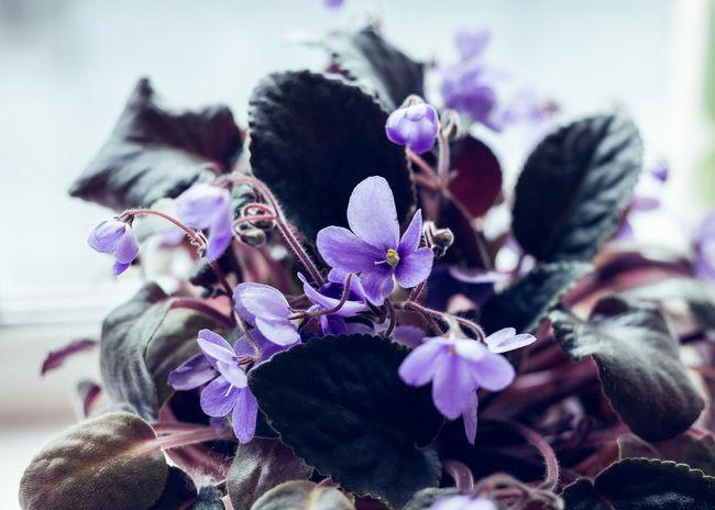 African Violet flowers of saintpaulia, close-up African Violet Leaves Freshness UV  Beauty In Nature Close-up Flower Flowers Indoors  No People Petal Plant Purple Saintpaulia Selective Focus Violet Vulnerability