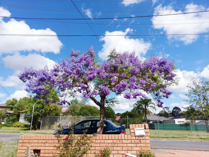 Purple tree Purple Tree Sydney Tree Stralia Tree Purple Tree Purple Tree Blue Sky Sunny Day In Sydney