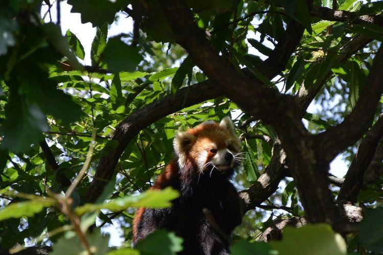 Animal Tree Branch Climbing Leaf Red Panda EyeEmNewHere
