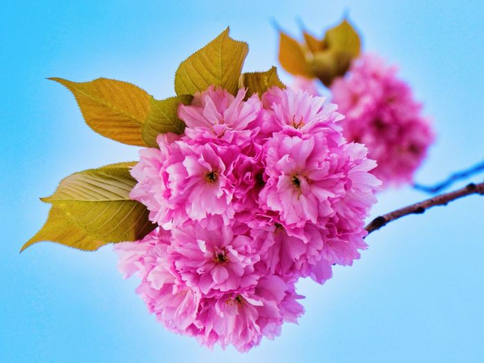 Cherryblossoms 🌸💕 Cherryblossom Pink Color Flower Flowering Plant Freshness Plant Beauty In Nature Vulnerability  Fragility Close-up Petal Nature Growth Flower Head Blue Clear Sky Springtime