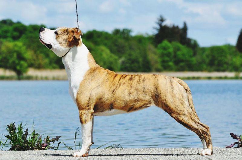 Lady Beauty Majestic Du Domaine De Kheops Dog Kennel Chien Pitbull Staff Americanstaffordshireterrier Lac