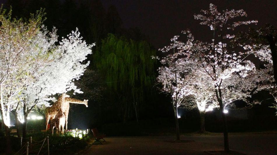 야간 벛꽃 외출 First Eyeem Photo Trees Cherry Blossoms Themapark