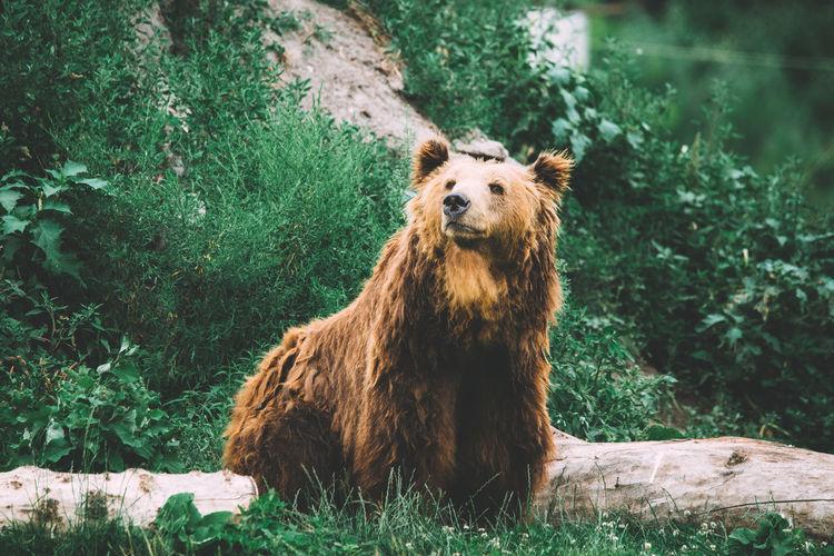Bear Dangerous Animals Nature Ursus Animal Animal Themes Animal Wildlife Background Big Animal Grizzly Bear Mammal Powerful Predator Wild Wildlife