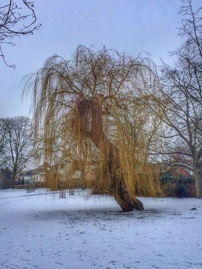 Winter Winter Trees Trees Snow