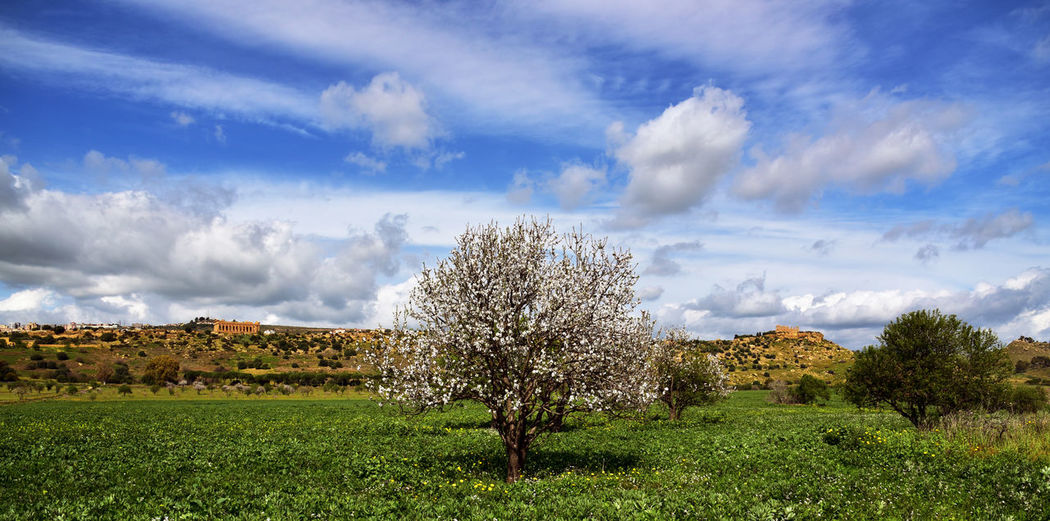 Agriculture Almond Blossom Beauty In Nature Beauty In Nature Blossom Cloud - Sky Day Flower Grass Growth Idyllic Landscape_Collection Nature No People Outdoors Scenics Sky Tranquil Scene Tranquility Tree