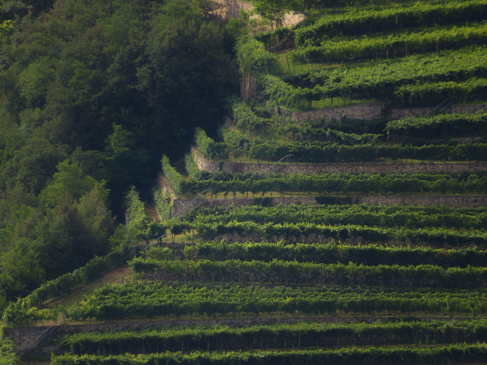 Edge Leading Lines Vineyards  Agriculture Environment Farm Field Green Color Growth High Angle View Land Landscape Landscape_photography No People Non-urban Scene Outdoors Plantation Rural Scene Terraced Field