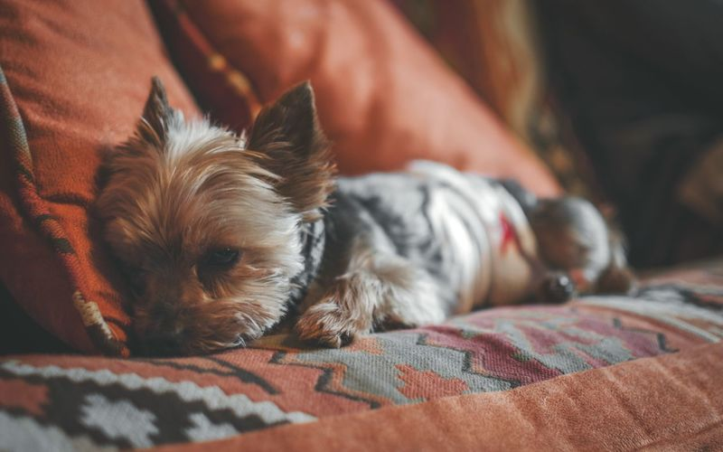 YorkiePets One Animal Domestic Animals Dog Relaxation Lying Down Indoors  Close-up Dog❤ Dogs Dog Love Dogs Of EyeEm Dogoftheday Yorkie Miniature Animal Themes Fall Taking Photos Photography Nikonphotography Pictureoftheday Cozy Warm Pets One Animal