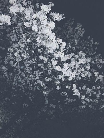 フラッシュ焚いてみた。 Cherry Blossoms Light And Shadow Nightphotography Tokyo Japan Adachi