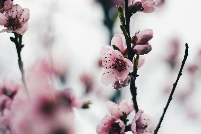 """""""Spring"""" EyeEm Selects Flower Plant Flowering Plant Freshness Beauty In Nature Close-up Fragility Growth Tree Nature Focus On Foreground Pink Color Day Blossom Springtime Outdoors Selective Focus"""