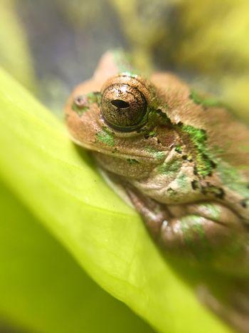 Flog カエル ニホンアマガエル 両生類 Amphibians Close-up