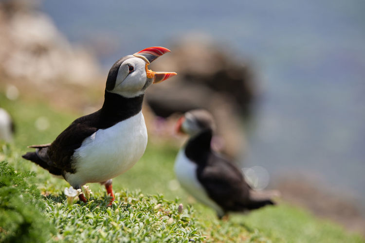 Fratercula puffin in saltee island ireland. in the process of migration