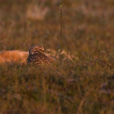 Burrowing Owl at sunset from Antelopeisland Burrowingowl Owl Igutah Igbirds Utah Utahgram Utbirders