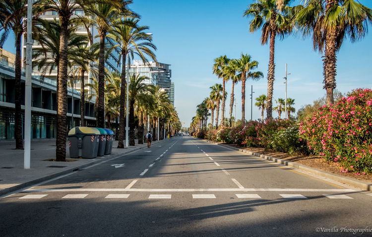 Blue City Life Clear Sky Coconut Palm Tree Day Growth In A Row Long Nature Outdoors Palm Tree Road Road Marking Sky Street Surface Level Tall - High The Way Forward Tranquil Scene Tranquility Transportation Tree Tree Lined Tree Trunk Treelined
