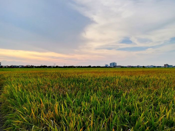 Paddy Field Field Agriculture Rural Scene Growth Dramatic Sky Freshness Vibrant Color Landscape Sky Cereal Plant Beauty In Nature Tranquility Sunset PurpleNature Day No People EyeEm Selects Tranquil Scene Outdoors