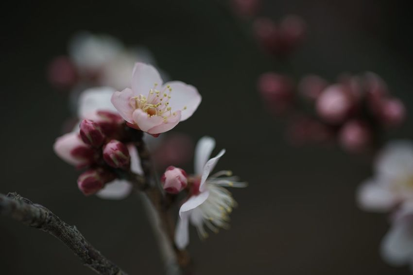 Adoration SONY A7ii Thinking Of You Adoration Masako201801 Nofilternoedit 105mm Micronikkor Micronikkor105mmf2.8 Koishikawa Botanical Gardens Plants Outdoors Plum Blossom Pink Flowers Flower Fragility Nature Beauty In Nature Growth Petal Blossom