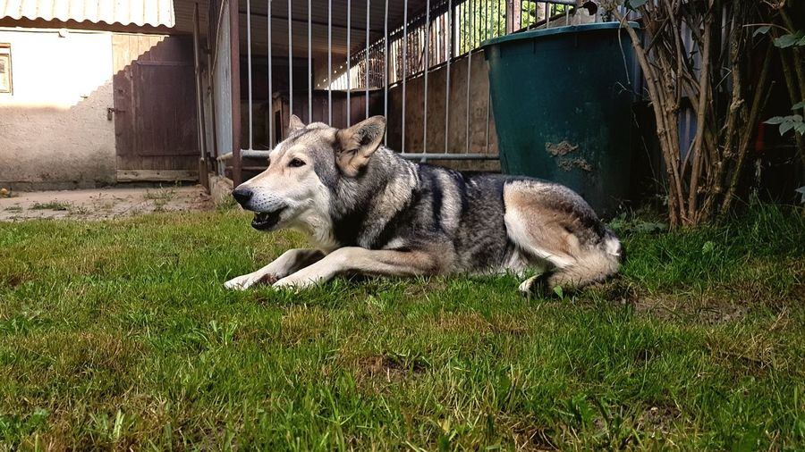 My old friend Home Sarloos Wolfhound Beautiful Day Old Friendship Friendship Happyness Germany Pets Pets Animal Themes Grass