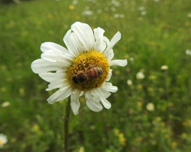 Bee on Daisy in