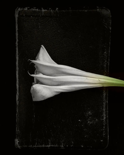 The Weight of Hours Black Background Close-up Dark Datura Flower On Book Fragility Moonflower Softness Still Life White Color Fine Art Photography