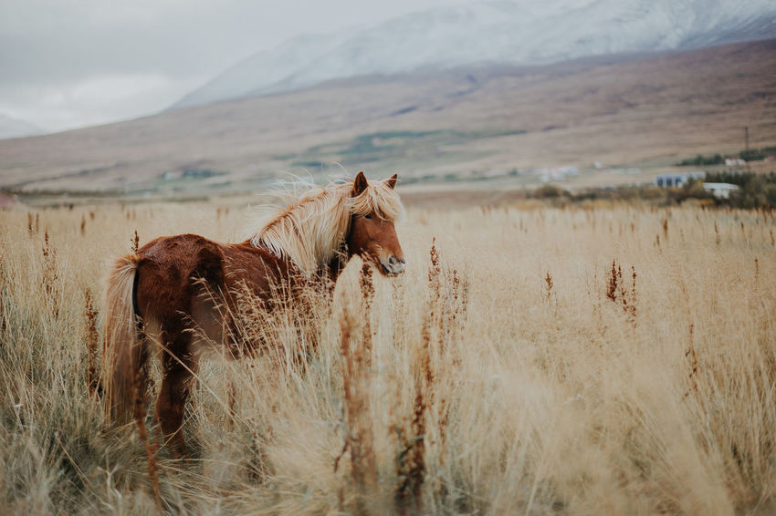 Iceland Winter Animal Themes Beauty In Nature Domestic Animals Field Grass Horse Icelandic Horse Landscape Livestock Mammal Mountain Nature One Animal Outdoors Scenics Sky Snowcapped Mountain Travel Destinations