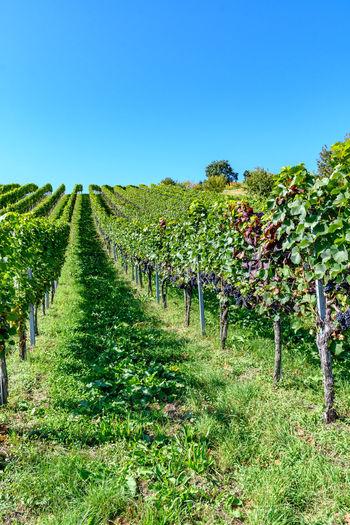 vineyard at the