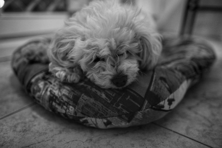 Argi Poodle Canichetoy Dog Animal Themes Sleeping Lovely Pet Animal Dog Love Perro Blackandwhite Bnw Relax Pets Portrait Dog Puppy Looking At Camera Cute Close-up Pet Bed
