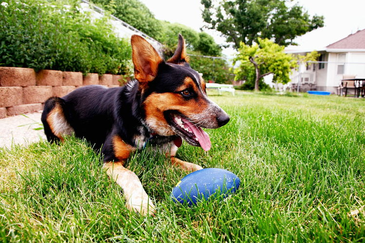 Dog With Rugby Ball On Grassy Field