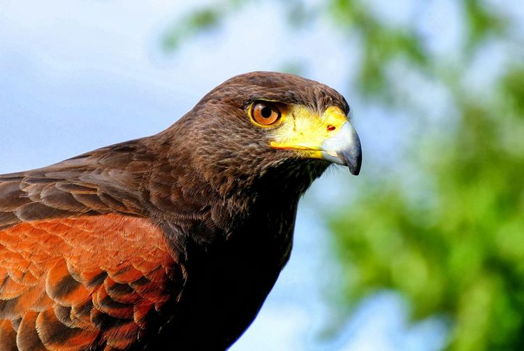 Close-Up Of Falcon