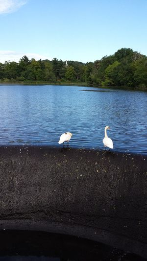 My two best Swan friends! Minimalist No Filter No Edit Pure Photography Waterfowl Nature Photography EyeEm Nature Lover Fine Art Photography Wildlife & Nature Water Dam Showcase: August Hugging A Tree Street Photography Urban Nature City Swans Of Eyeem From Above  Love Birds Natural Light Wind On Water Waterfall Before Therapy Creation