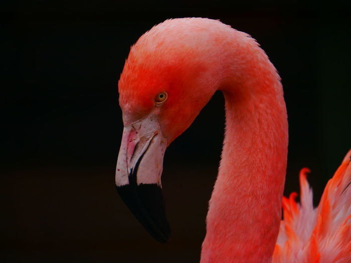 Animal Themes Animal Wildlife Animals In The Wild Beak Beauty In Nature Bird Close-up Day Flamingo Lotherton Lotherton Hall Lotherton Hall Bird Garden Lothertonbirdgarden March March 2017 Nature No People One Animal Outdoors Pink Color Red Water
