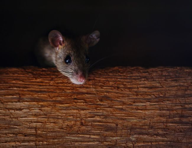 Mouse Look Wood Mouse Mouse🐹 One Animal Animal Themes Animal Mammal Vertebrate No People Animal Wildlife Wood - Material Animals In The Wild Close-up Looking At Camera Brown