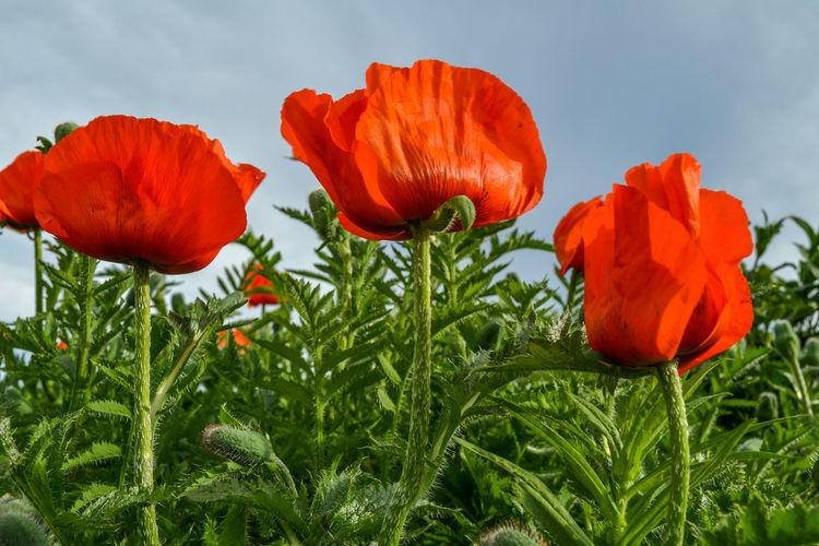 Three red poppy