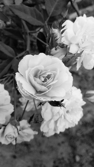 beautiful rose in black n white Black N White Photography Flower Head Flower Petal Rose - Flower Close-up Plant Wild Rose Rose Hip In Bloom Blossom Botany Pale Pink Focus