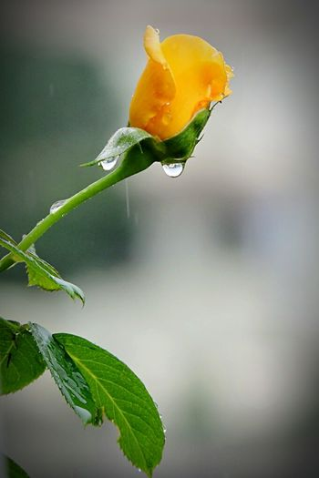 Rosé Roses🌹 Flower Collection Flowers, Nature And Beauty Flower Photography Flowerlovers Rain Drops On Flowers Rain Drops Rain Drops On Roses Rain Drops On Petals Rain Drops On Leaves Yellow Rose Yellow Flower Leaves🌿 Leaves And Flowers Leaves And Droplets Roses World 🌹❤️🌹