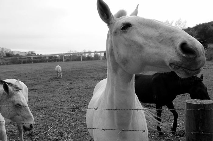Horses Farm Animals Farm Life Farm Greenery Minimalism Animal_collection EyeEmBestPics Eye4blackandwhite Bnw Eye4black&white  Eye4photography  EyeEmbestshots Black And White EyeEm EyeEm Bnw EyeEm Nature Lover Black & White Eyeemphotography Blackandwhite EyeEm Gallery Animallovers Taking Photos Portugal
