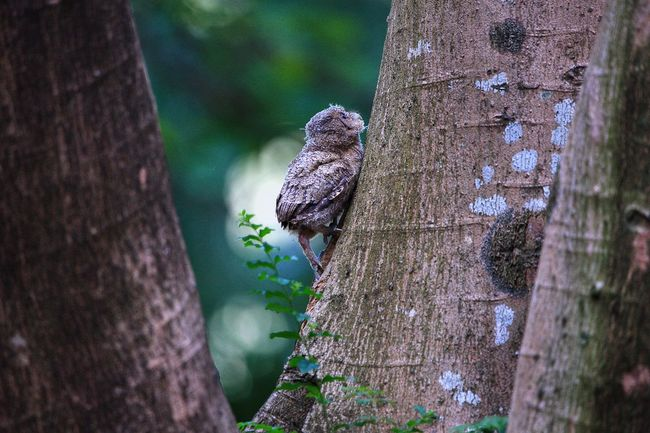 Otus Bakkamoena - baby 領角鴞BB Otus Bakkamoena Otus Scops Owl Animal Themes Animal Animal Wildlife Animals In The Wild One Animal Vertebrate Day No People Tree Nature Tree Trunk Trunk Bird Plant Focus On Foreground Outdoors Close-up Beauty In Nature