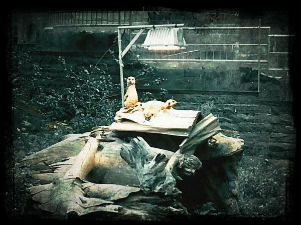 Erdmännchen Relaxing Zooporn