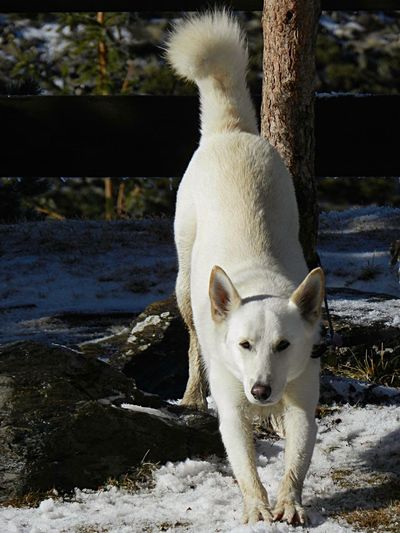 White dog standing in snow
