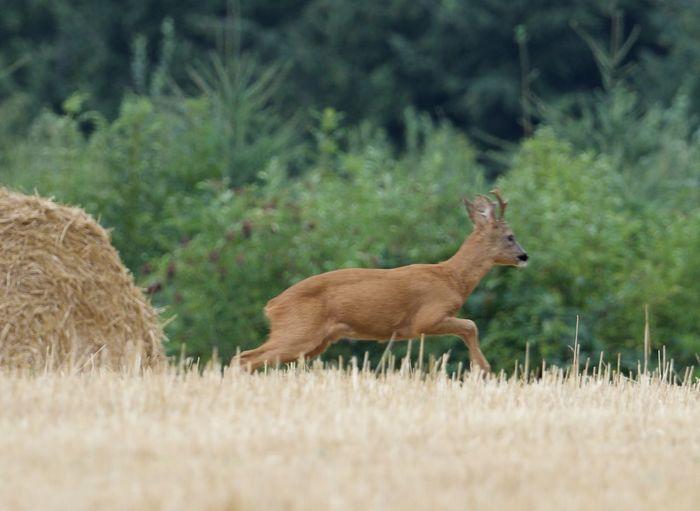 Side view of deer on field