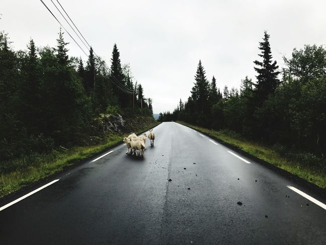 When you realize you are up north⬆️🐑 Dog Domestic Animals Animal Themes Pets Mammal Tree One Animal Road The Way Forward Day No People Nature Growth Transportation Sky Outdoors Grass 12MP Pattern