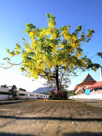 ราชพฤกษ์ Takuapa Flowers,Plants & Garden Bicycling Bicycle Bicyclelife Yellow Flower