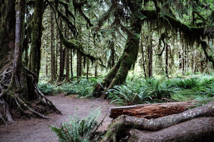 Forest Tree Plant Trunk Tree Trunk Tranquility Nature Beauty In Nature WoodLand No People Tranquil Scene Scenics - Nature Outdoors Green Color Hoh Rainforest Olympic National Park Olympic National Forest