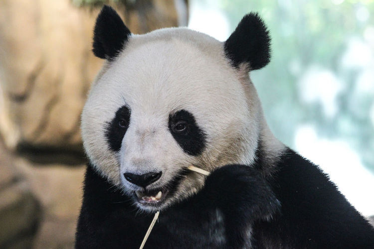 Close-up portrait of panda