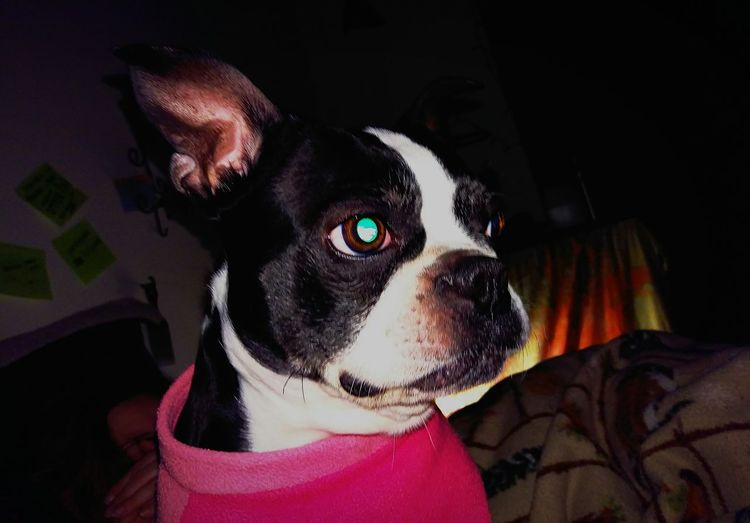 Millennial Pink Kiki in her pink, spring fleece snuggie.... Dog Close-up One Animal Pets Portrait Animal Themes No People Indoors  Mammal Boston Terrier Day Getting Back On Track Outofthewayangles Editoftheday My Life Just For Fun The Portraitist - 2017 EyeEm Awards