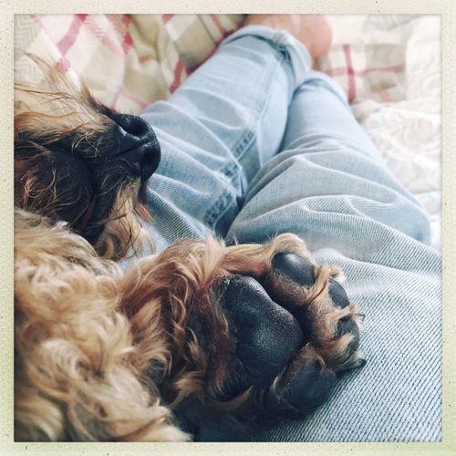 Monty enjoying a nap Wire Haired Daschund Chilling Dog